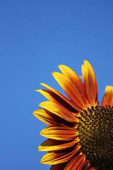 Orange Sunflower by Sarah Yost