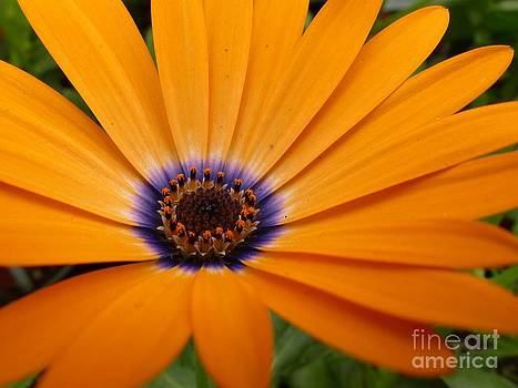 Christine Stack - Orange Symphony Daisy