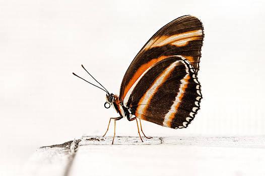 Orange Tiger Butterfly by Tim Devine