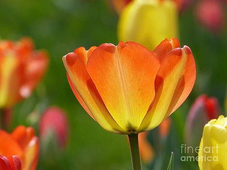 Christine Stack - Orange Tulip