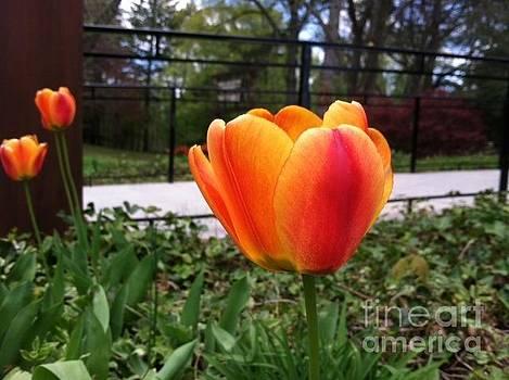 Orange Tulip by Sandra Spincola
