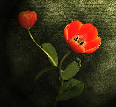Orange Tulip by Shawn Davis