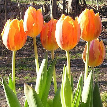 Orange Tulips by R  Allen Swezey