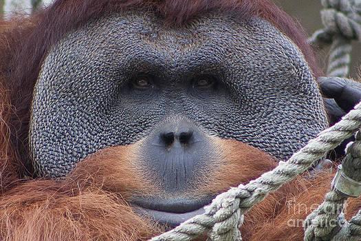 Orangutan Smile by Kimberly Blom-Roemer