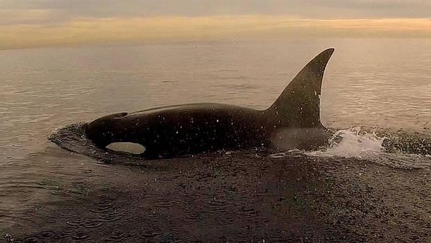 Orca In Laguna  by Rich German