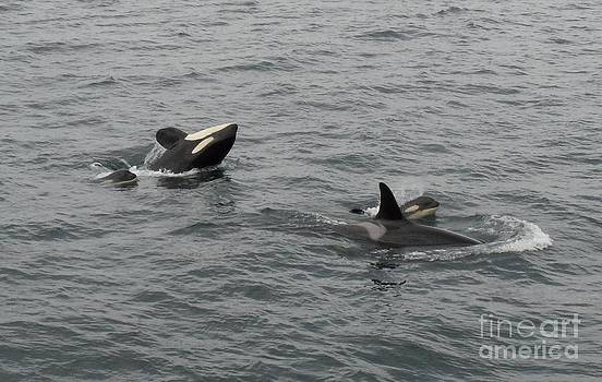 Orca Mamas In the Wild - Together Forever by Gayle Swigart