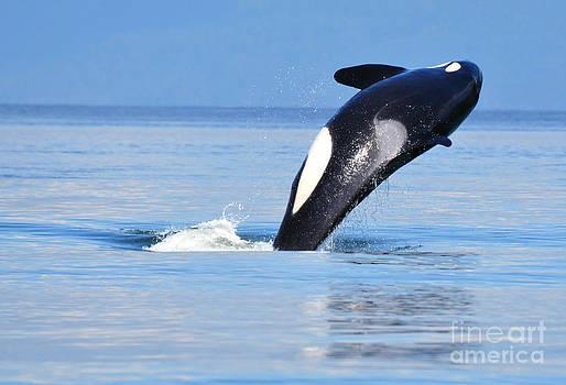 Orca near Vancouver by Susan Montgomery