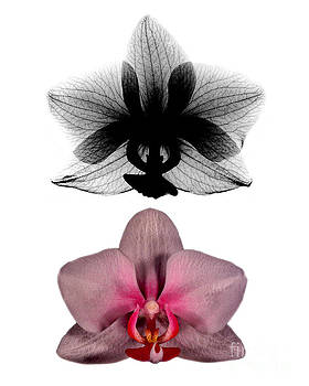 Bert Myers - Orchid and Its X-ray