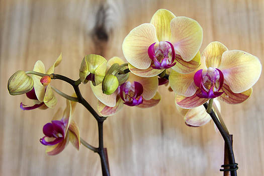 Orchid Beauties by Dana Moyer