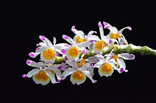 Orchid Burst by David Earl Johnson