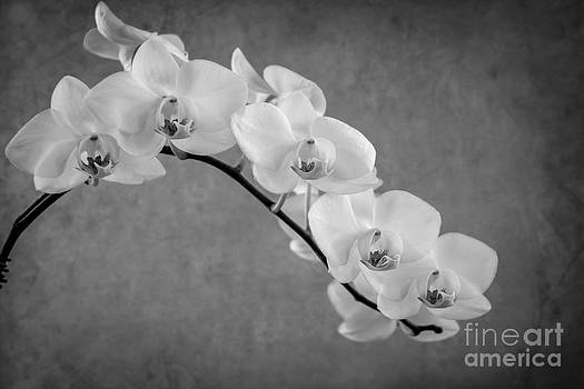Hannes Cmarits - orchid bw