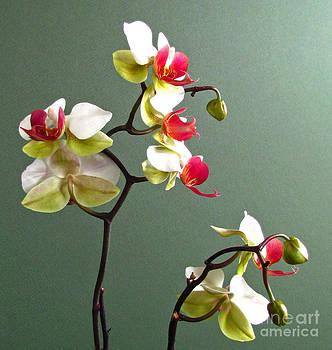 Orchid Dance  by Deborah Johnson