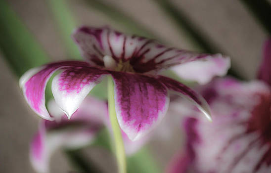 Orchid Dream by Jonica Hall