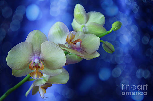 Orchid Dream by Nicole Markmann Nelson