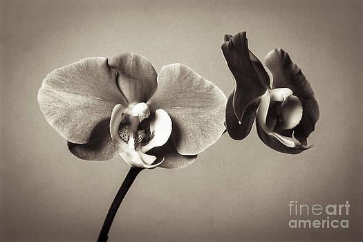 Orchid Duality by Hitendra SINKAR
