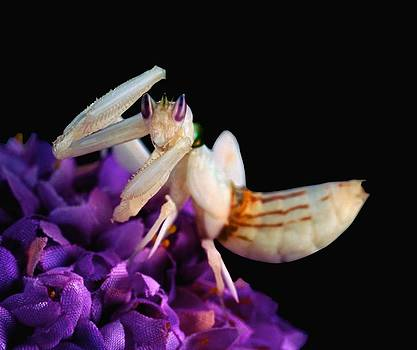 Orchid Female Mantis  hymenopus coronatus  10 of 10 by Leslie Crotty