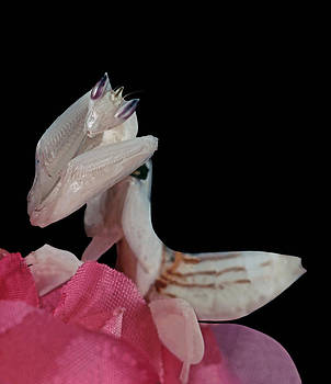 Orchid Female Mantis  hymenopus coronatus  2 of 10 by Leslie Crotty