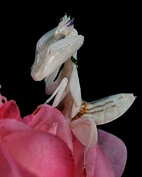 Orchid Female Mantis  hymenopus coronatus  3 of 10 by Leslie Crotty