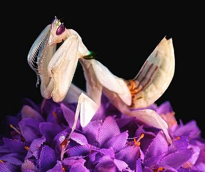 Orchid Female Mantis  hymenopus coronatus  7 of 10 by Leslie Crotty
