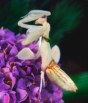 Orchid Female Mantis  hymenopus coronatus  9 of 10 by Leslie Crotty
