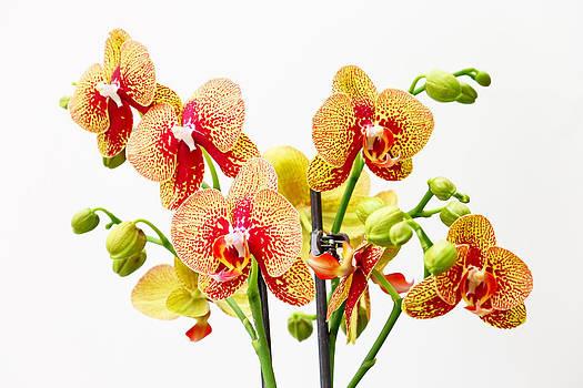 Orchid flowers by Borislav Marinic