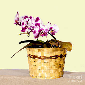 Orchid in a pot  by TommyJohn PhotoImagery LLC