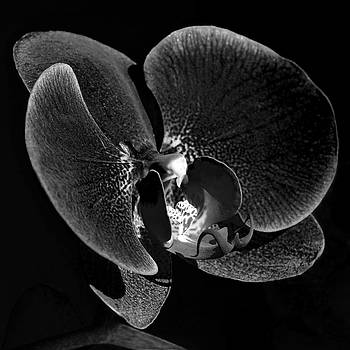 Lisa Phillips - Orchid in Black and White