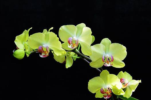 Orchid Love by David Earl Johnson