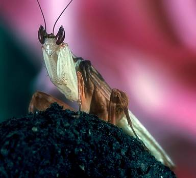 Orchid Male Mantis  hymenopus coronatus  Portrait #4 of 9 by Leslie Crotty