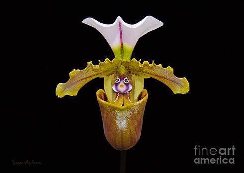 Susan Wiedmann - Orchid Paphiopedilum Fairrieanum