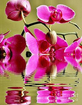 Orchid Reflection by Judy Palkimas