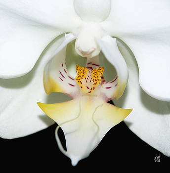 Orchid Splendor by Barbara Middleton