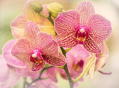 Orchid Splendor  by Beckie Fitgerald