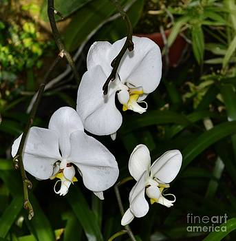 Orchid Trinity by Eva Thomas