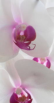 Orchid Trio by Kathy Spall