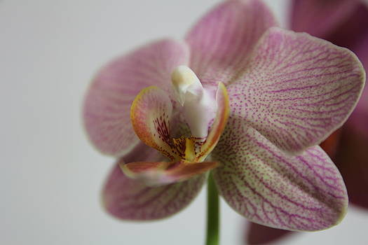 Orchid11 by George Christoff