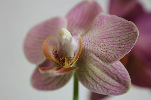 Orchid12 by George Christoff