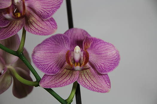 Orchid13 by George Christoff