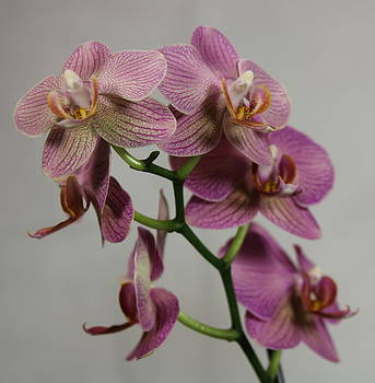 Orchid15 by George Christoff