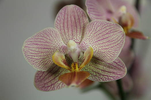 Orchid7 by George Christoff