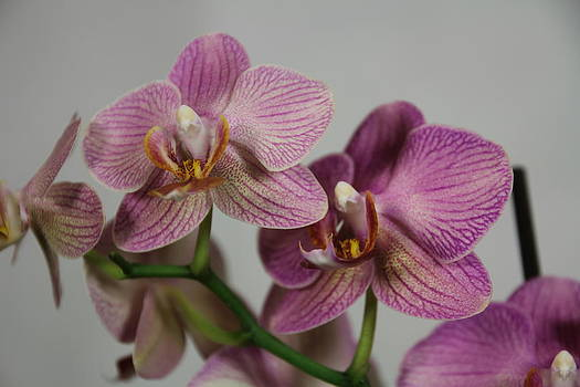 Orchid9 by George Christoff
