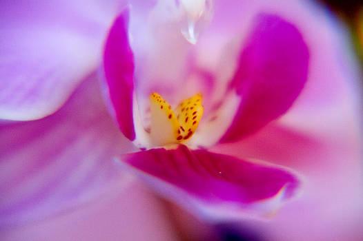 Orchide petals by Kim Lagerhem