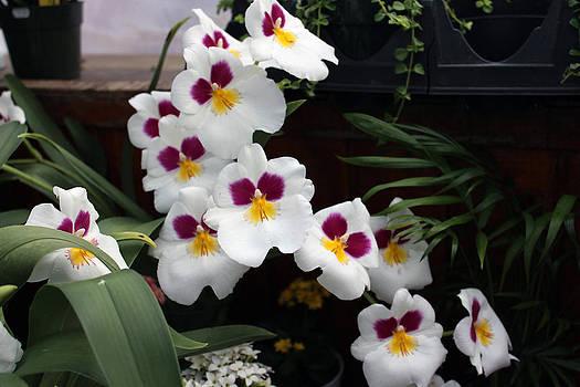 Orchids 1  by Valerie Longo