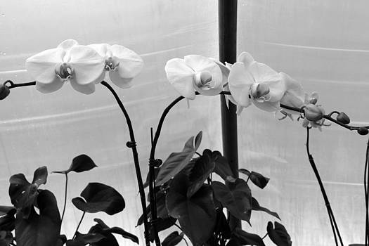 Orchids 2 BW by Valerie Longo