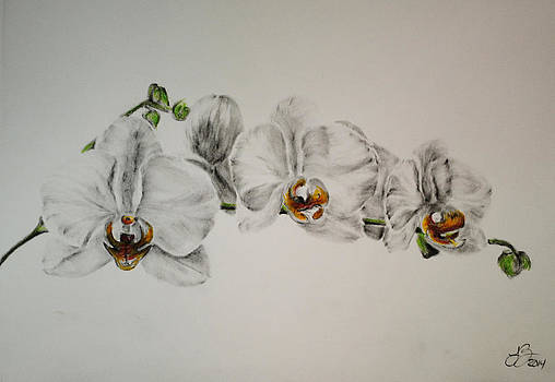 Orchids 329 by Tim Brandt