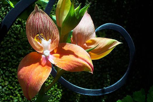 Orchids 5 by David Nichols