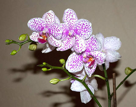 Brian King - Orchids