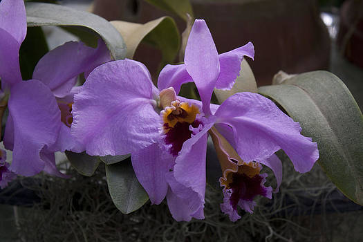 Donna Walsh - Orchids