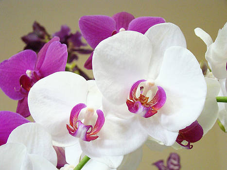 Baslee Troutman - Orchids Floral Art Prints White Pink Orchid Flowers
