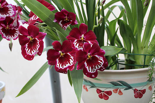 Orchids in Planter by Valerie Longo